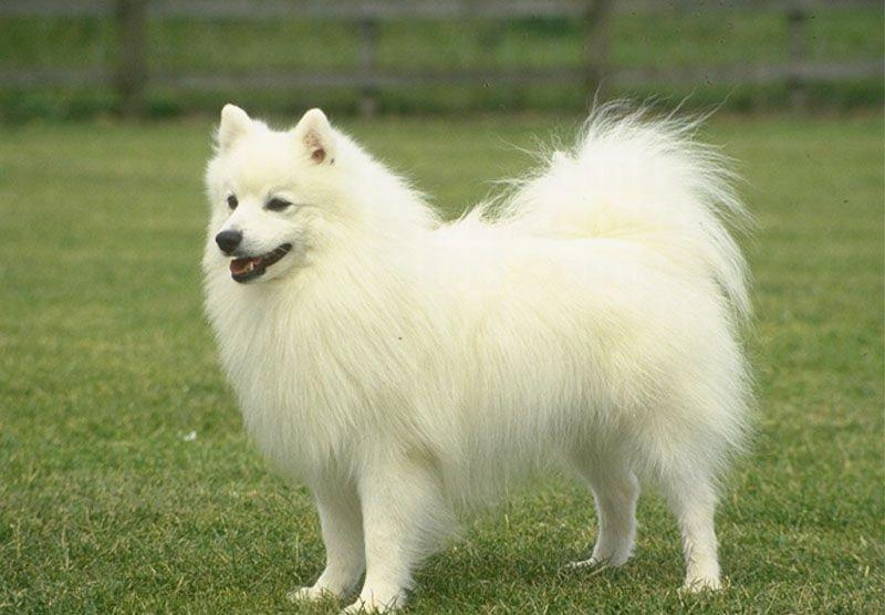 Pomeranian Breed Standard