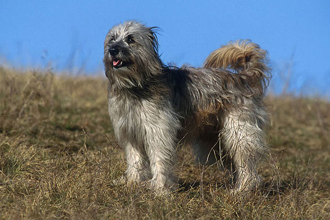 Pyrenean Shepherd Breed Standard