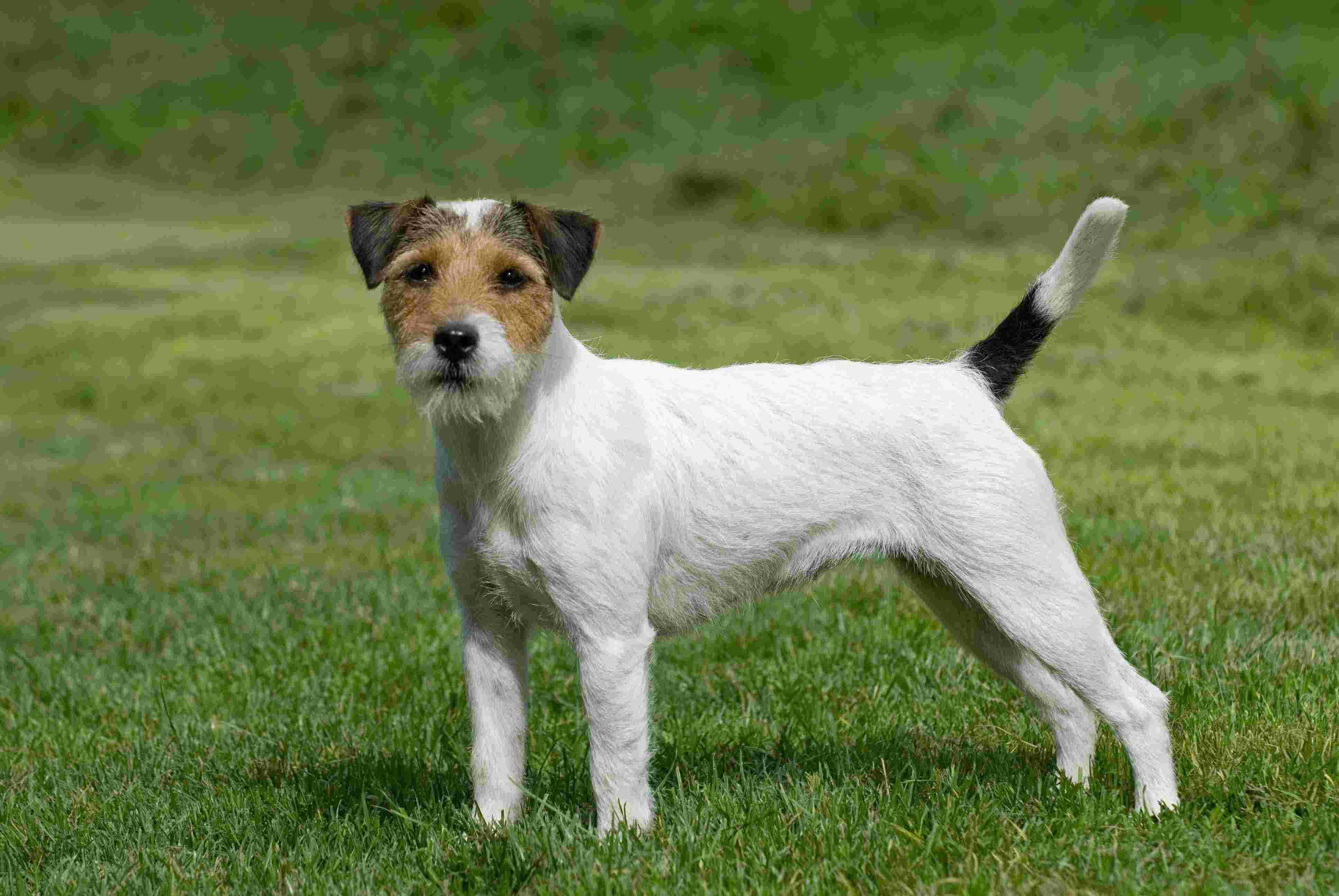 Parson Russell Terrier Breed Standard