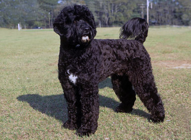 Portuguese Water Dog Breed Standard