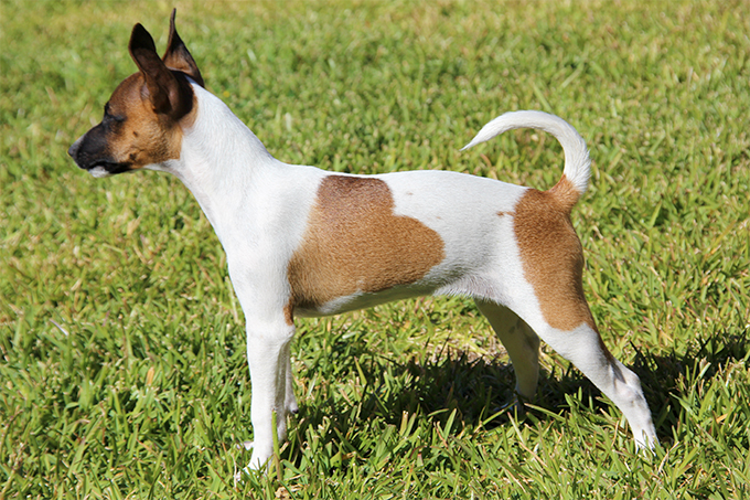 Rat Terrier Breed Standard