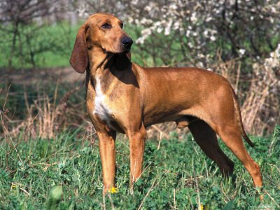 Redbone Coonhound Breed Standard