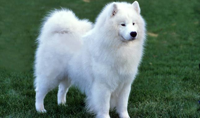 Samoyed Breed Standard