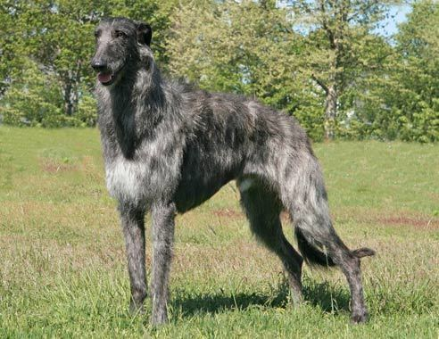 Scottish Deerhound Breed Standard