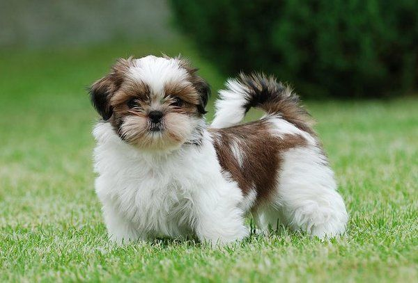 Researchbreedercom Shih Tzu Official Breed Standard To Help You