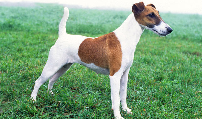 Smooth Fox Terrier Breed Standard