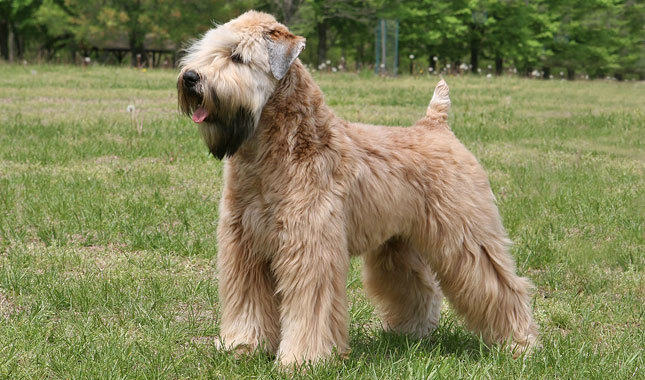 Soft Coated Wheaten Terrier Breed Standard