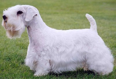 Sealyham Terrier Breed Standard