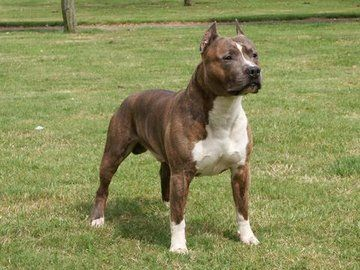 American Staffordshire Terrier Breed Standard