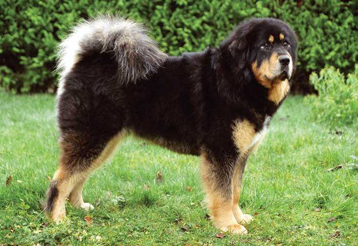 Tibetan Mastiff Breed Standard