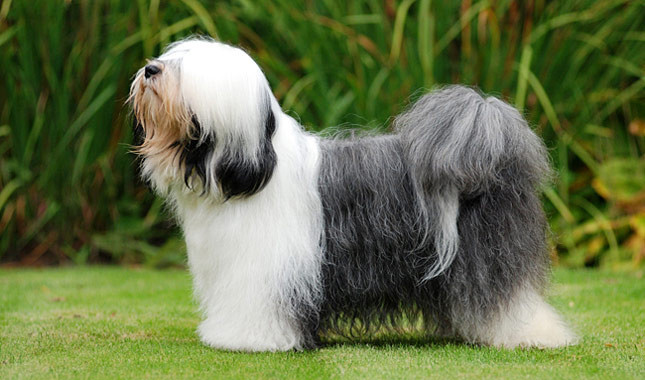 Tibetan Terrier Breed Standard