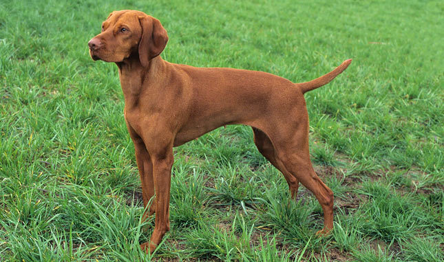 Vizsla Breed Standard