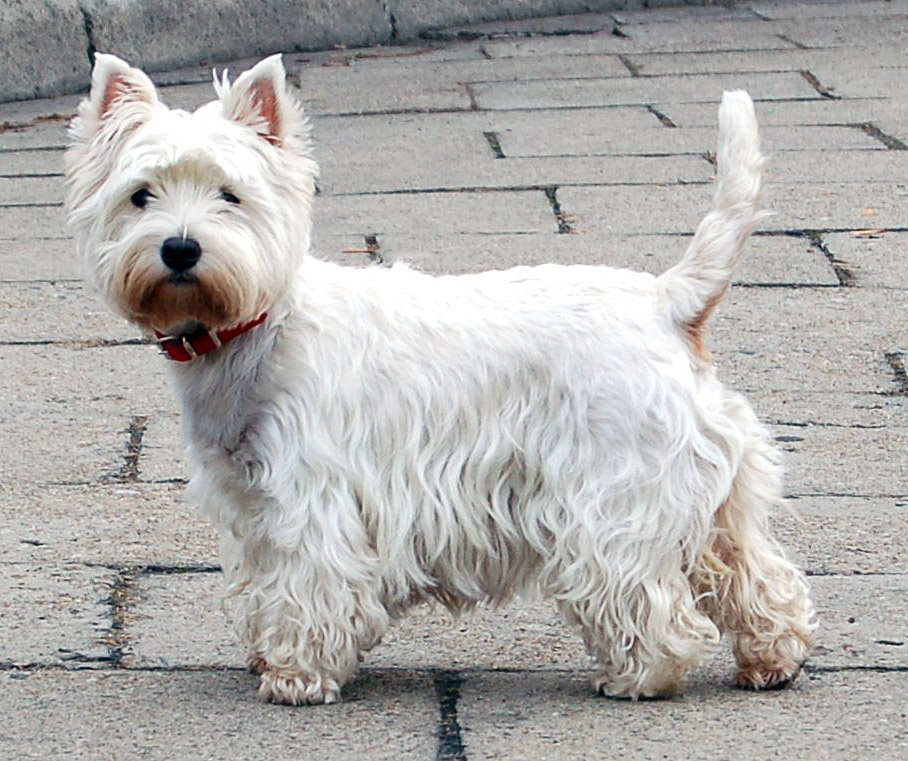 West Highland White Terrier Breed Standard