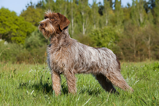 Wirehaired Pointing Griffon Breed Standard