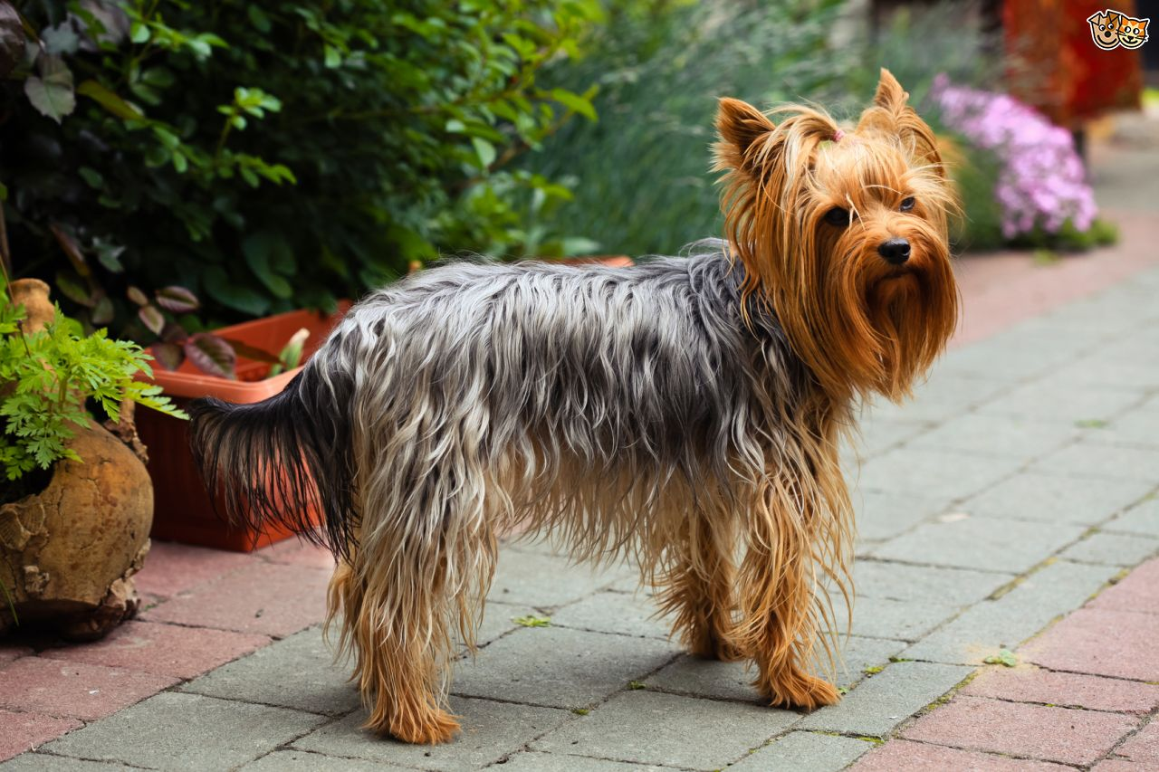 Yorkshire Terrier Breed Standard