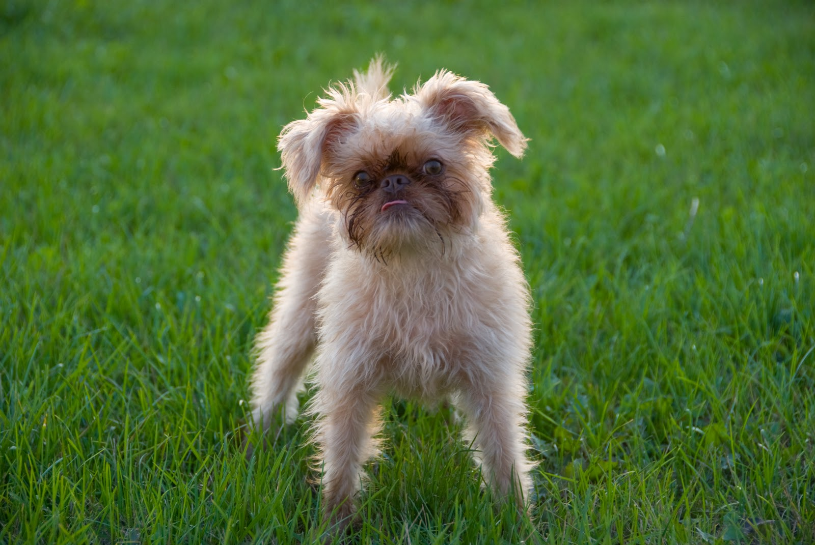 Brussels Griffon Puppy Picture