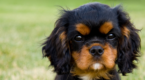 Researchbreedercom Find English Toy Spaniel Puppies For Sale