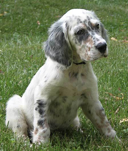 English Setter Puppies