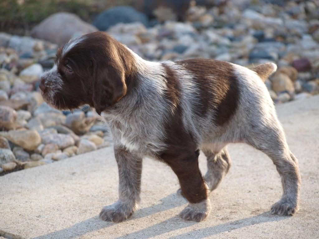 German Wirehaired Pointer Puppy Photos