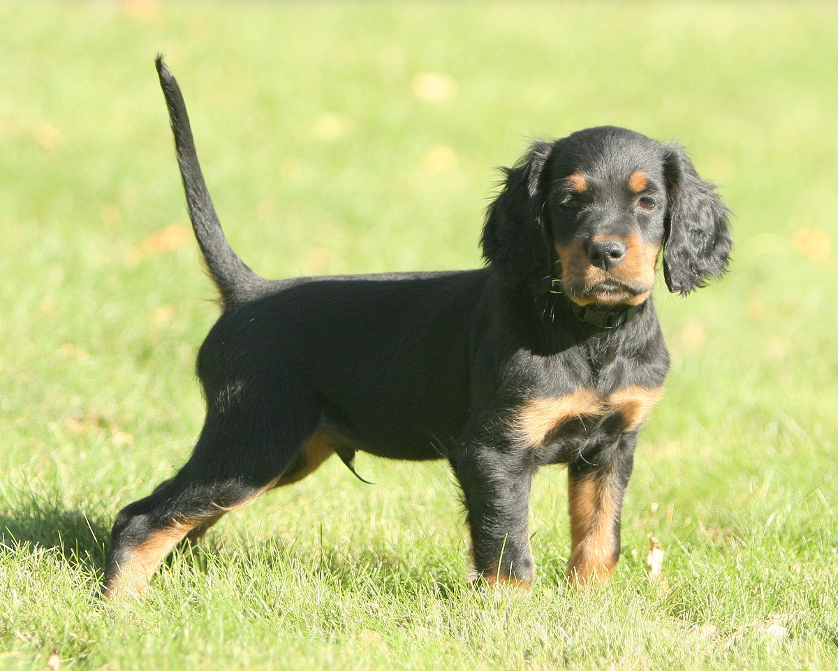 Gordon Setter Puppy Photos