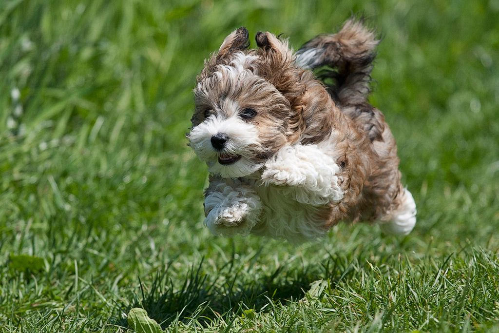 Find Havanese Puppies For Genetic