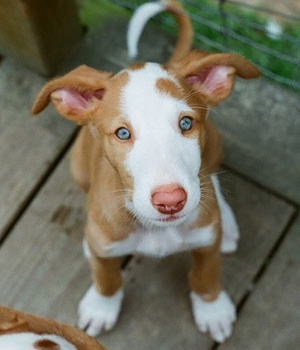 ibizan hound puppy for sale