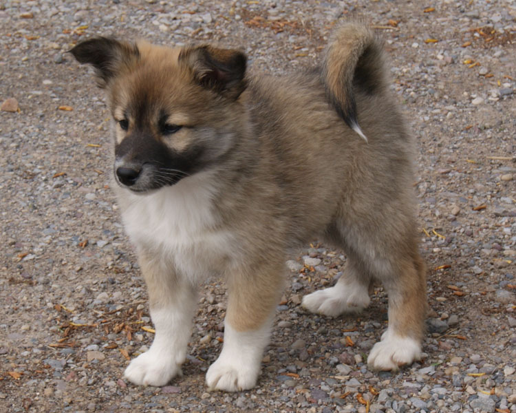 Icelandic Sheepdog Puppy Picture