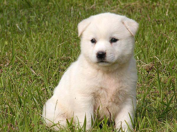 Jindo Puppies