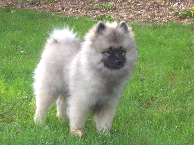 Keeshond Puppy