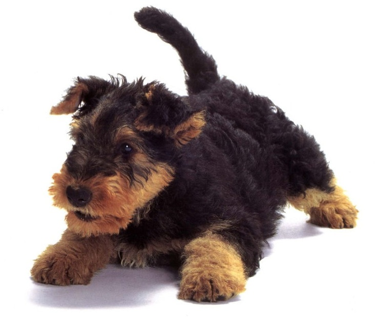 ResearchBreeder.com  Find Airedale Terrier Puppies for Sale. Genetic Testing Done?