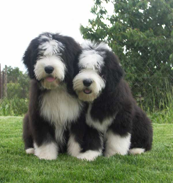 Find Bearded Collie Puppies For