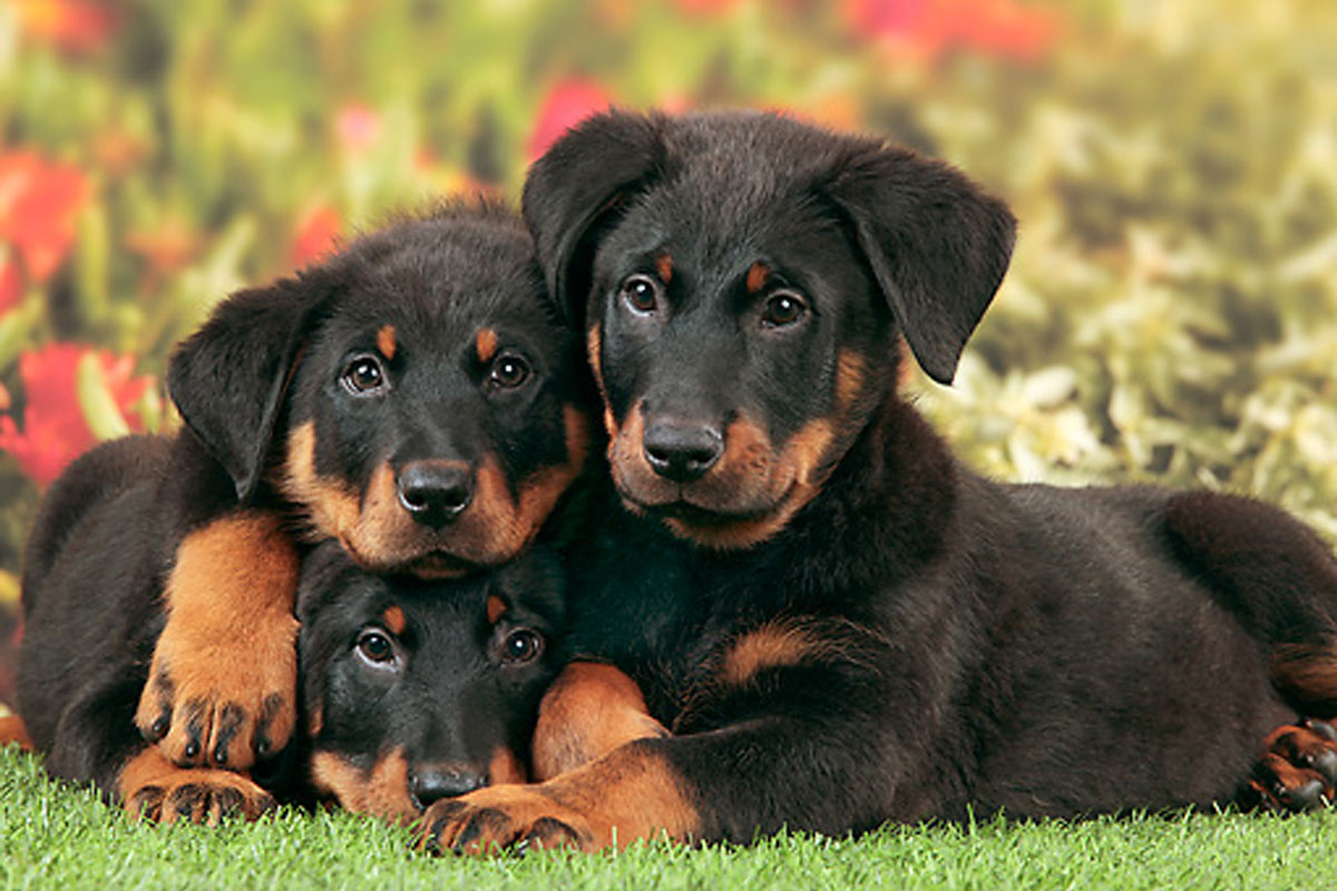 Researchbreedercom Find Beauceron Puppies For Sale Genetic