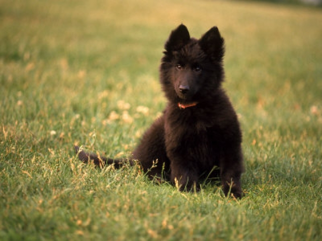 Belgian Sheepdog Puppy