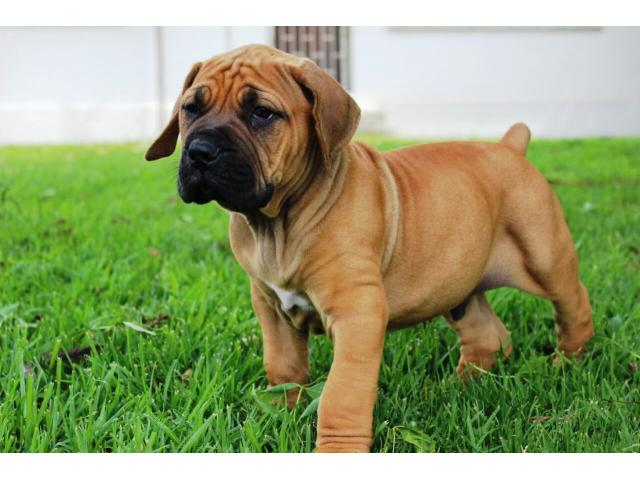 Researchbreedercom Find Boerboel Puppies For Sale Genetic