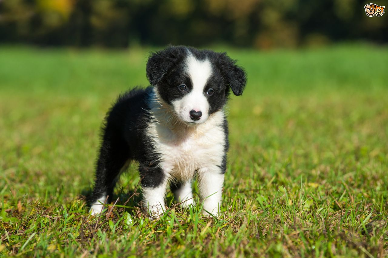 Researchbreedercom Find Border Collie Puppies For Sale Genetic