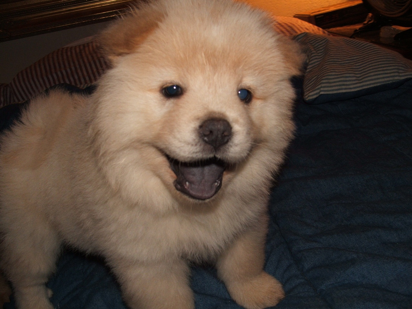 Chow Chow Puppy Photo