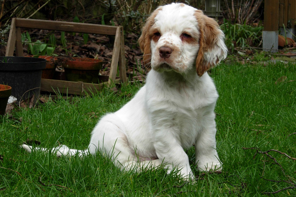 Researchbreedercom Find Clumber Spaniel Puppies For Sale Genetic