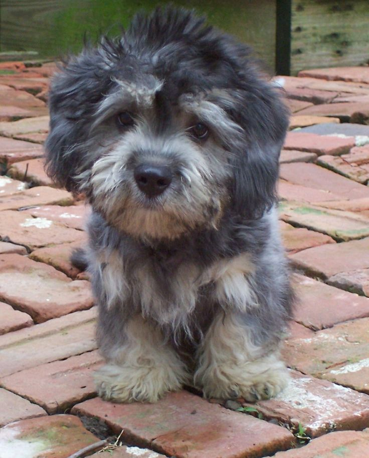 Dandie Dinmont Dogs For Sale
