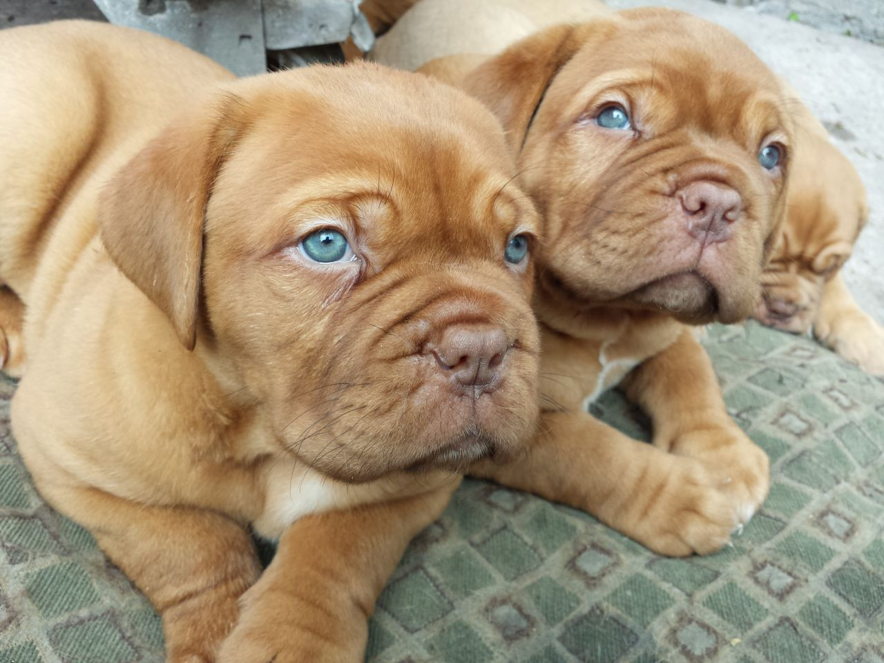 French Mastiff Puppy Goldenacresdogs