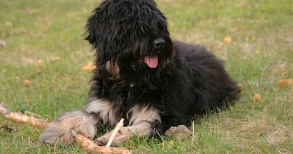 Portuguese Sheepdog Puppies
