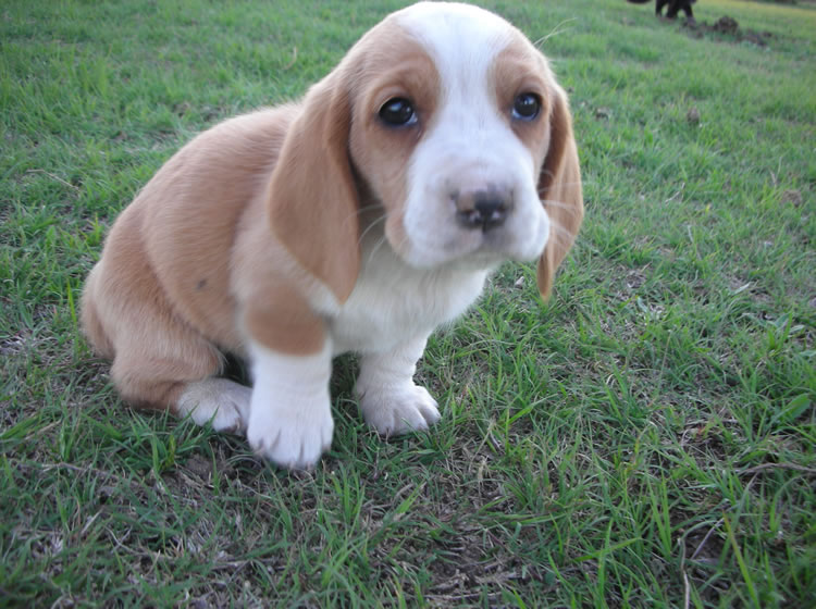 Find Bet Hound Puppies For