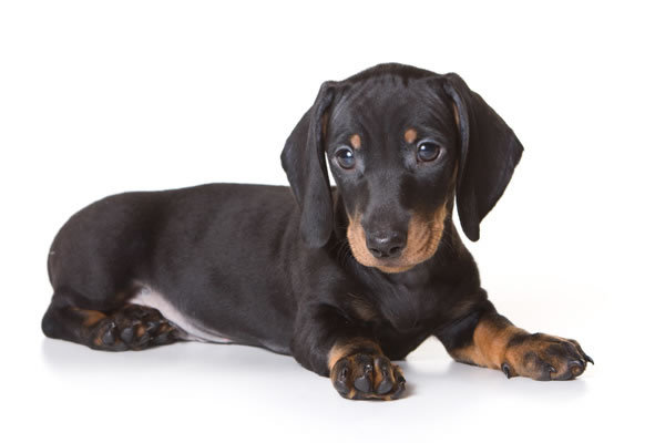 Researchbreedercom Find Dachshund Puppies For Sale