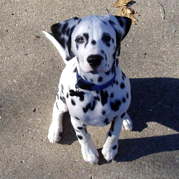 Researchbreedercom Find Dalmatian Puppies For Sale Genetic