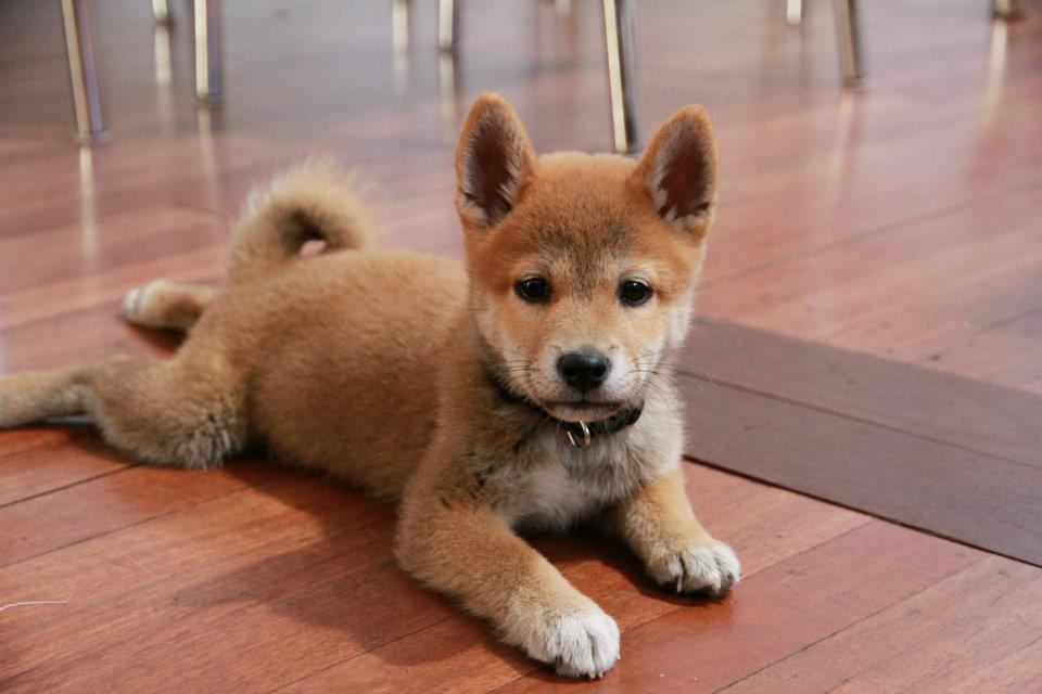 ResearchBreeder.com - Find Shiba Inu Puppies for Sale. Genetic Testing Done?