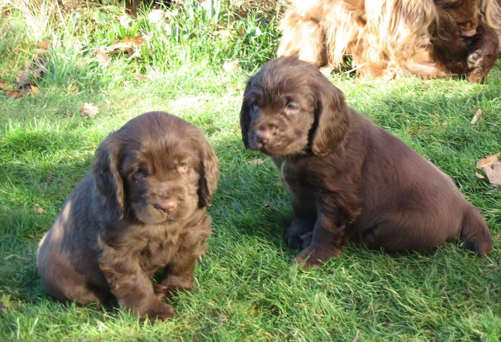 Researchbreedercom Find Sussex Spaniel Puppies For Sale Genetic