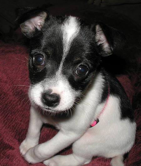 Researchbreedercom Find Toy Fox Terrier Puppies For Sale And