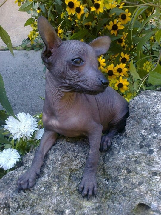 Find Xoloitzcuintli Puppies for Sale
