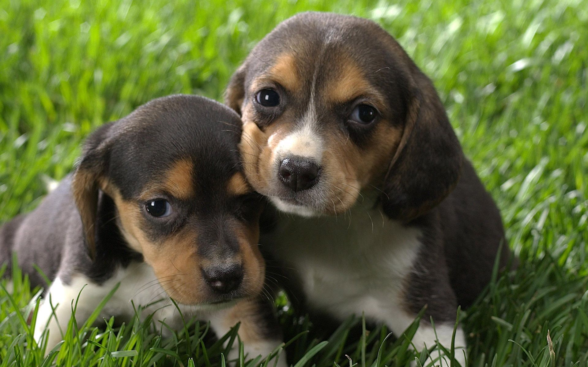 Most Inspiring Tiny Beagle Adorable Dog - beagle-puppies  Trends_38533  .jpg