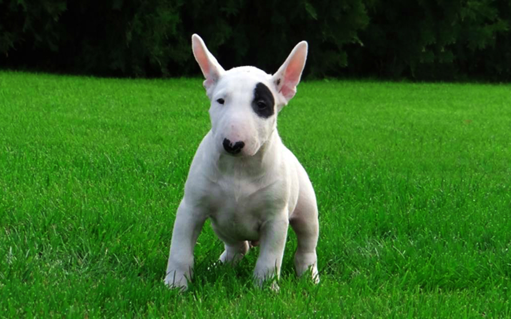 Researchbreeder Com Find Bull Terrier Puppies For Sale Genetic Testing Done