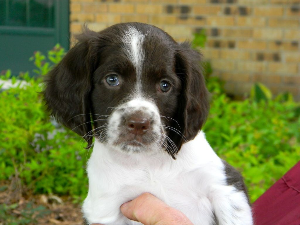 Researchbreeder Com Find French Spaniel Puppies For Sale Genetic Testing Done